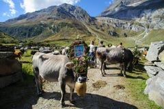 牛的回归在女低音阿迪杰的 库存照片
