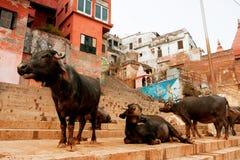 水牛的小组在印度的街道上的 库存照片