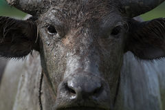 水牛的表面 免版税库存图片