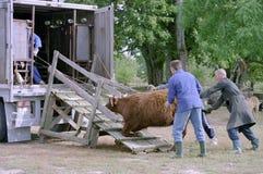 牛的运输 库存照片