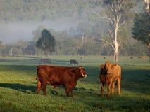 牛的领域在黎明 免版税库存照片