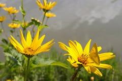 牛眼菊和蝴蝶 图库摄影