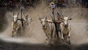 黄牛种族 免版税库存图片