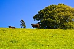 牛种田红色红宝石的德文郡 免版税库存图片