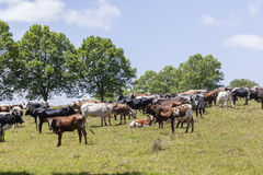 牛种田 免版税库存照片