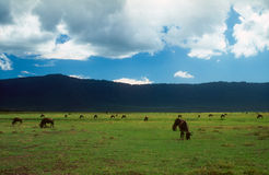 牛羚和斑马哺养 免版税库存图片