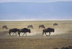 牛羚ngorongoro 库存图片