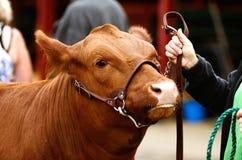 牛肉操舵 图库摄影