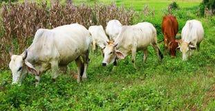 牛肉牧群在泰国 图库摄影
