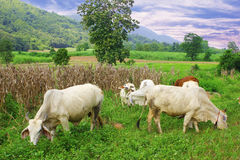 牛肉牧群在泰国 库存图片