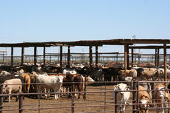 牛肉肥育场 图库摄影
