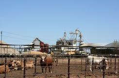 牛肉肥育场 免版税库存图片