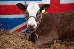 牛肉英国牛 库存图片
