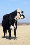 牛肉黑色母牛 免版税库存图片