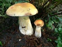 牛肝菌蕈类二 库存图片