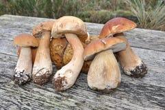 牛肝菌蕈类可食国王采蘑菇porcinis 免版税图库摄影