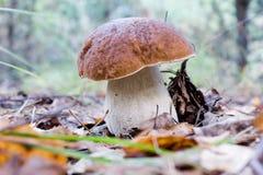牛肝菌蕈类可食的蘑菇 免版税图库摄影