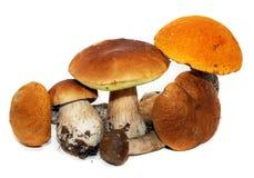 牛肝菌蕈类可食蘑菇porcini 库存图片