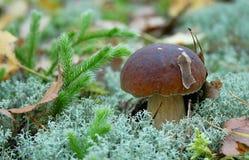 牛肝菌蕈类可食ep 库存图片