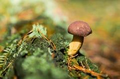 牛肝菌蕈类在森林 库存图片