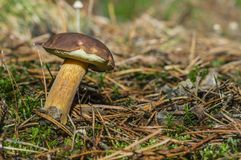 牛肝菌蕈类在森林 免版税库存图片