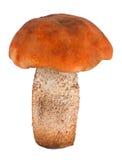 牛肝菌蕈类接近的杯子桔子 库存照片