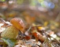 牛肝菌蕈类特写镜头在秋天森林里 免版税库存照片