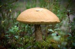 牛肝菌蕈类盖帽桔子 免版税库存图片
