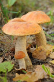 牛肝菌蕈类盖帽桔子 图库摄影