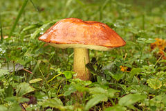牛肝菌蕈类盖帽桔子 免版税库存照片