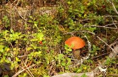 牛肝菌蕈类盖帽蘑菇桔子 免版税库存照片