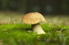 牛肝菌蕈类蘑菇 库存图片