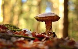 牛肝菌蕈类面包可食森林s灰鼠 免版税库存图片