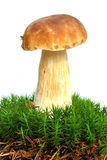 牛肝菌蕈类 免版税库存图片
