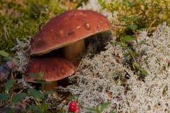 牛肝菌蕈类 库存图片