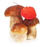 牛肝菌蕈类可食蘑菇 免版税库存图片