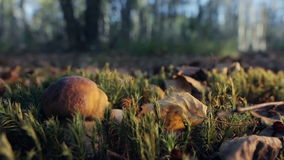 牛肝菌蕈类在一个晴朗的森林里 股票录像