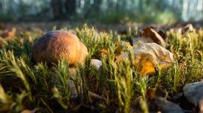 牛肝菌蕈类在一个晴朗的森林里 免版税库存照片