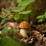 牛肝菌蕈类在森林床上 免版税库存照片