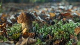 牛肝菌蕈类在森林里 免版税库存图片