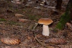 牛肝菌蕈类特写镜头 库存照片