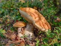 牛肝菌蕈类盖帽桔子二 库存图片