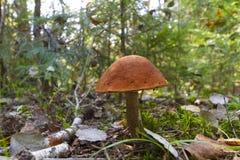 牛肝菌蕈类盖帽蘑菇桔子 库存照片