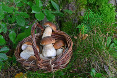 牛肝菌蕈类蘑菇在森林里 库存照片