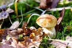 牛肝菌蕈类蘑菇 免版税图库摄影