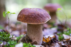 牛肝菌蕈类面包可食森林s灰鼠 库存图片
