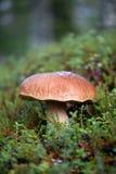 牛肝菌蕈类面包可食森林s灰鼠 图库摄影