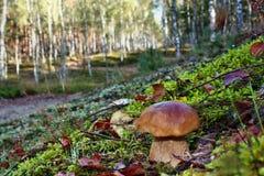牛肝菌蕈类面包可食森林s灰鼠 库存照片