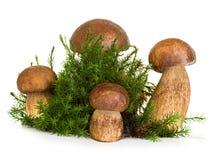 牛肝菌蕈类,在白色隔绝的森林青苔的等概率圆蘑菇 免版税图库摄影