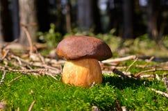 牛肝菌蕈类,蘑菇 免版税库存图片